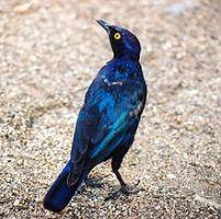 220px-Lamprotornis_nitens,_Kruger